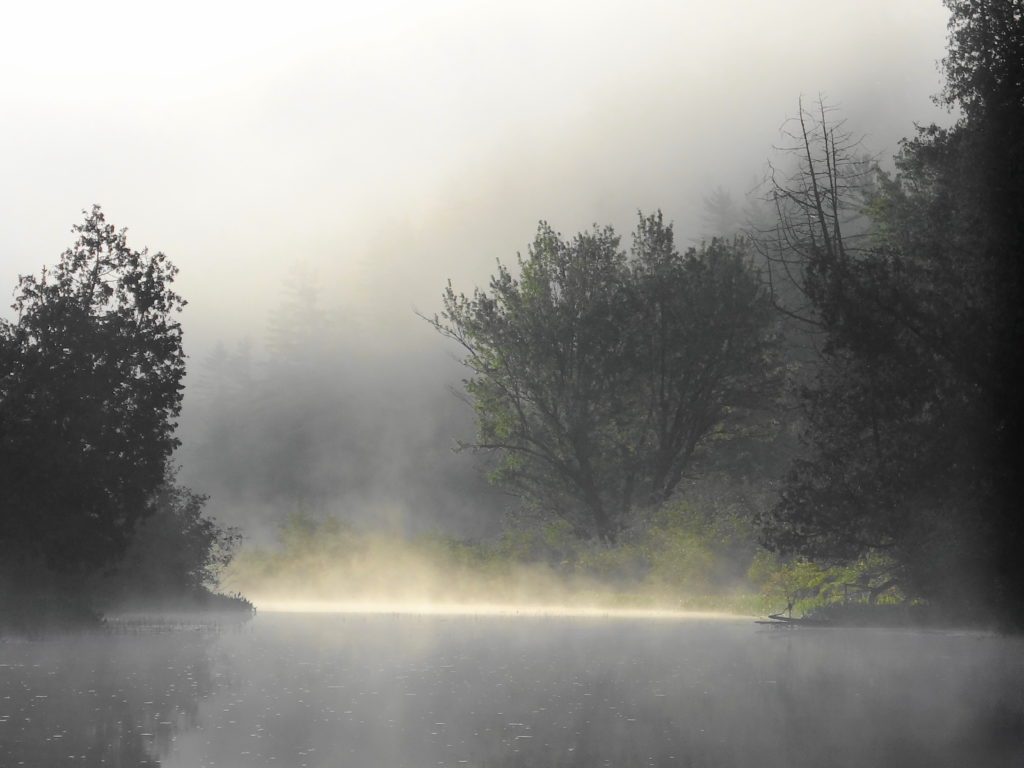 A silver maple emerges from the morning mist beside Brigham Lake.