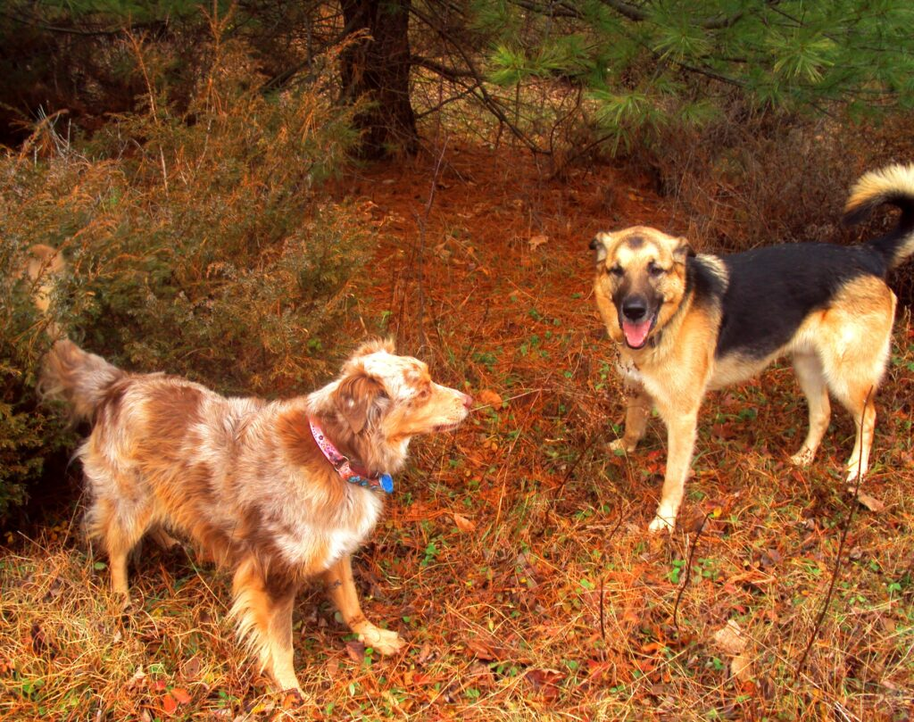 Tasha - Australian Shepherd, Jordie - German Shepherd x Alaskan Malamute