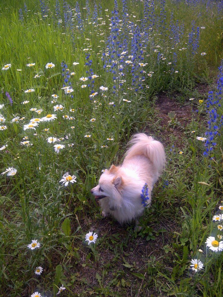 Zoey - Pomeranian