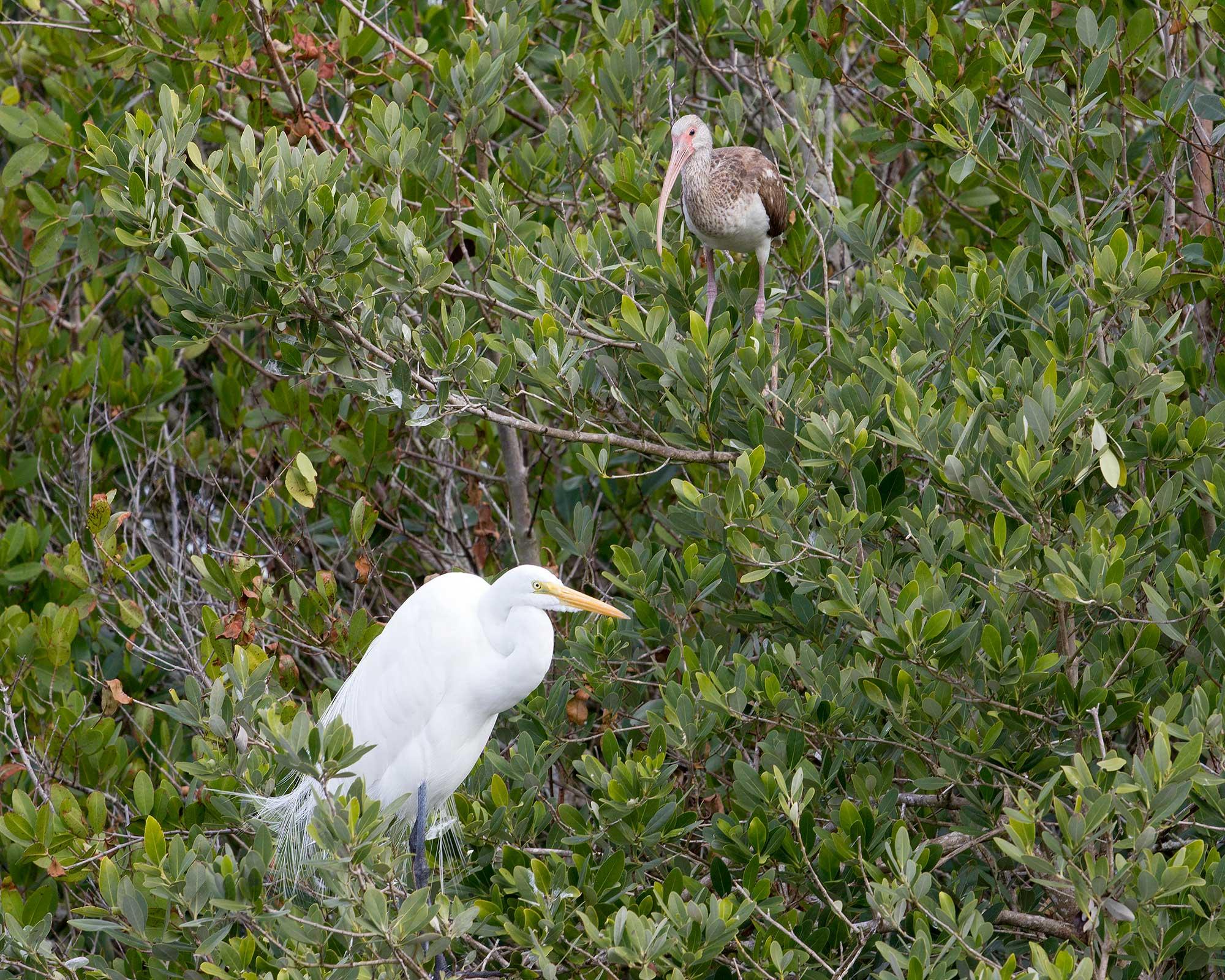 White Ibis and Egret