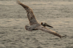 pelican diving for fish