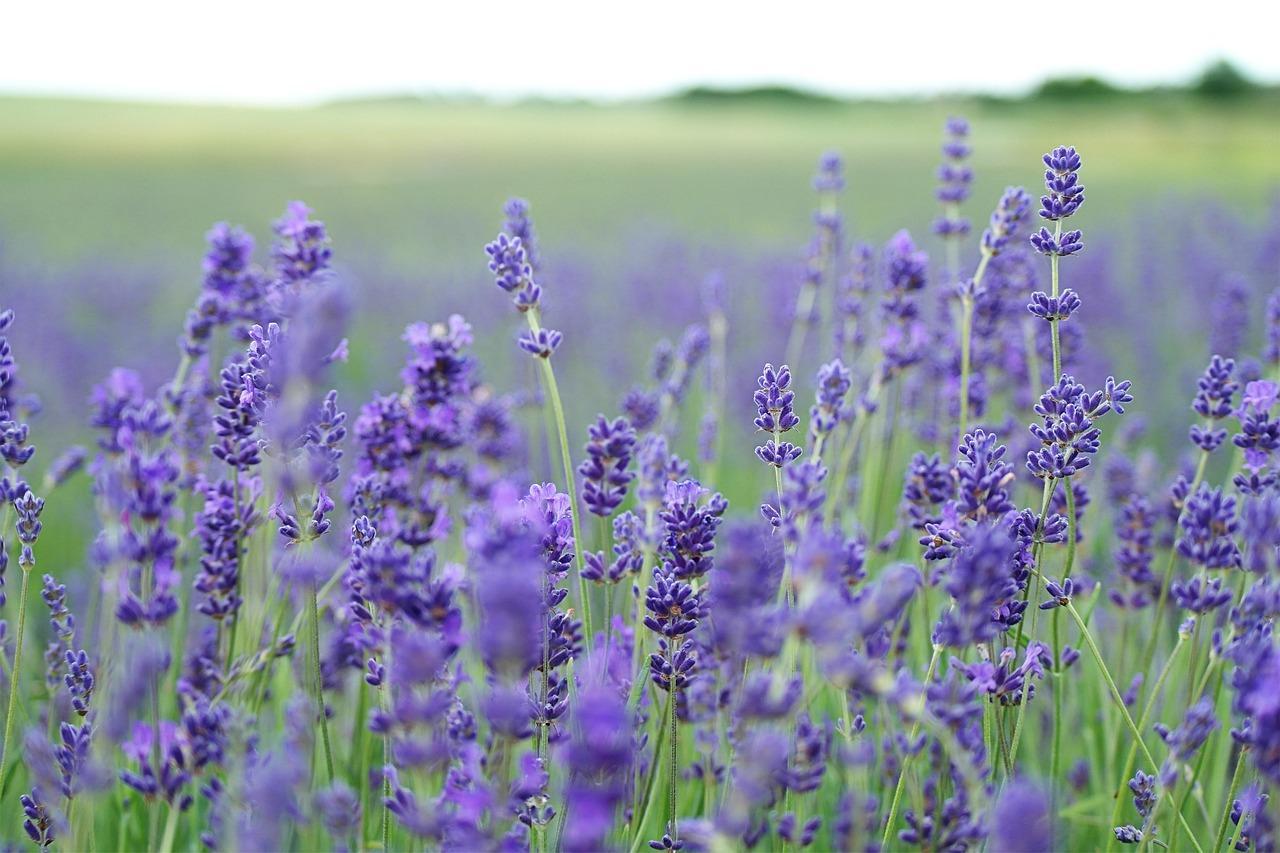 lavender field, lavender, purple
