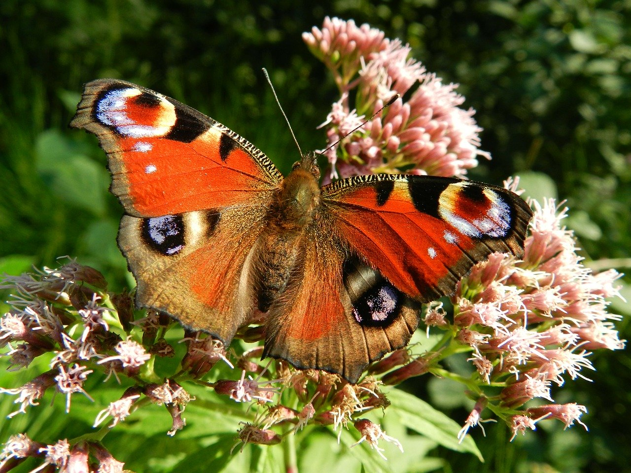butterfly, wings, red