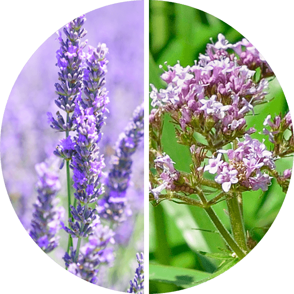 Lavender and Valerian Root are used as effective calming agents in PupAgain.