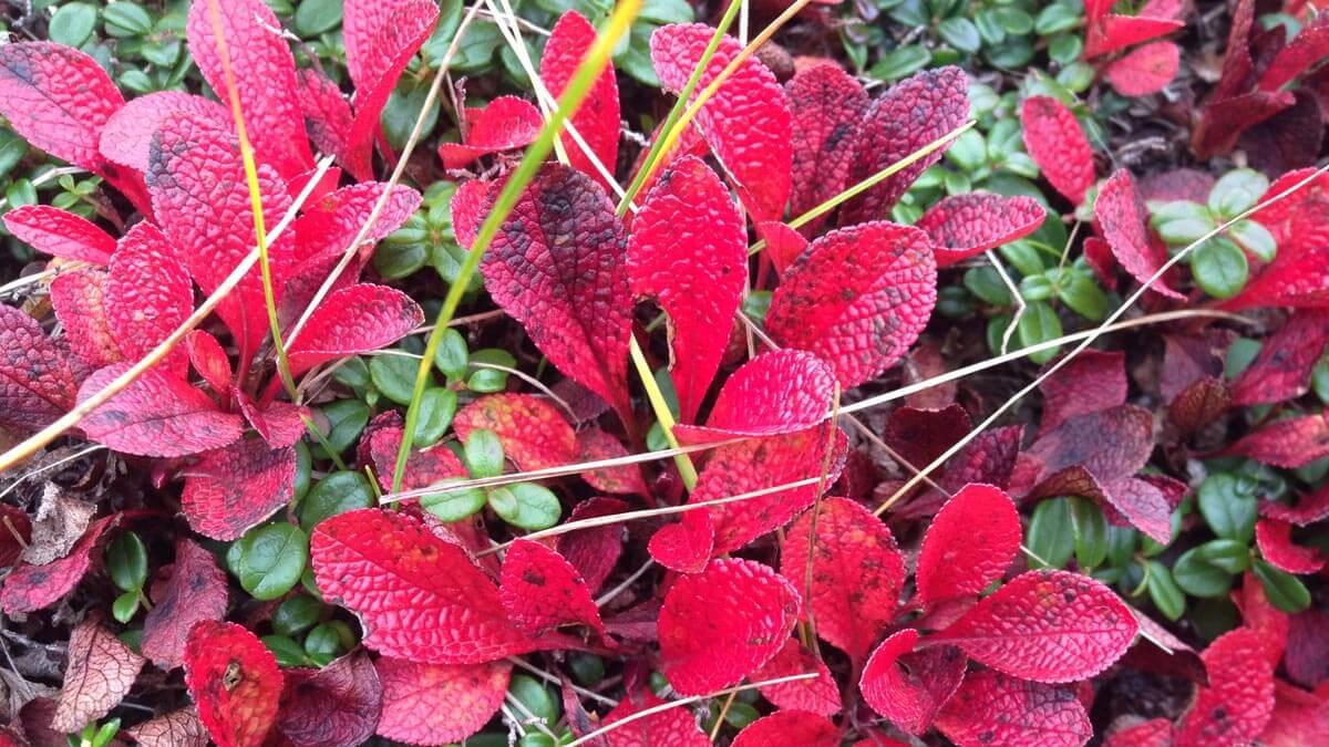 Alpine Tundra Vegetation in Fall Colors