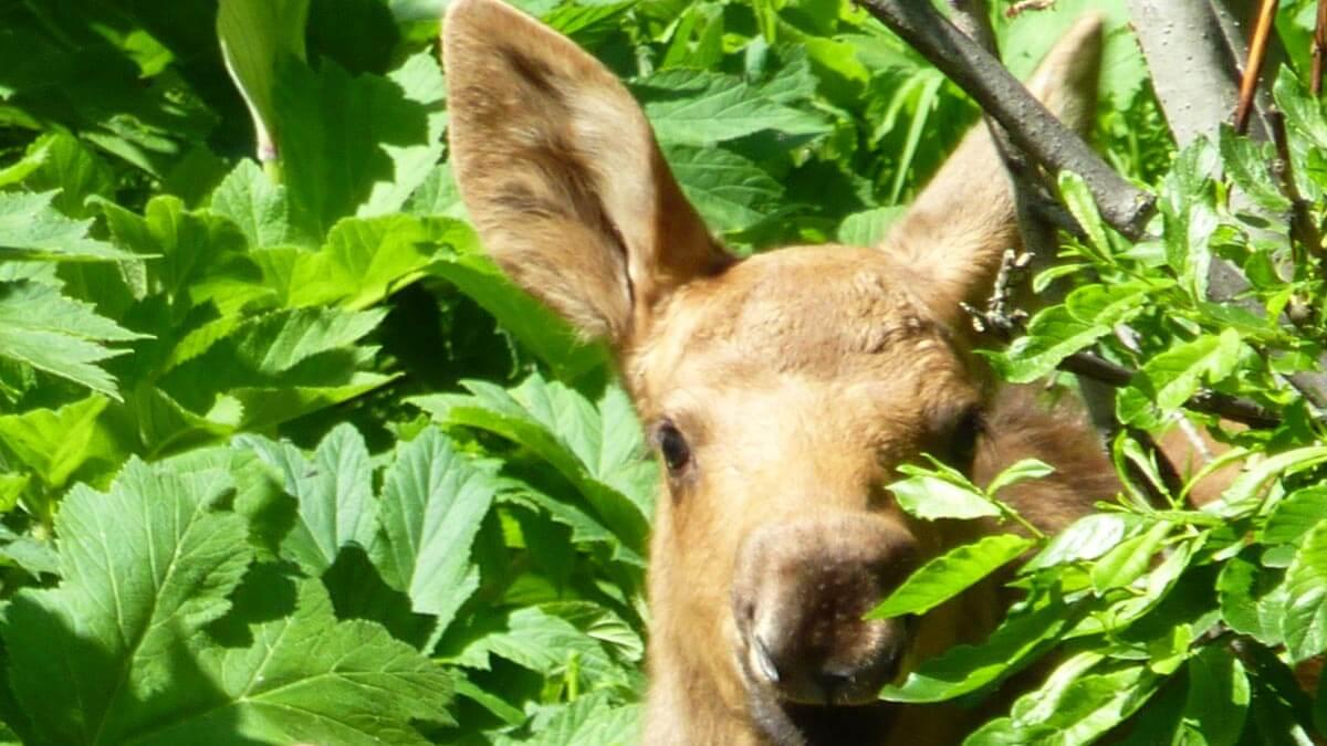 Moose Calf Close Up