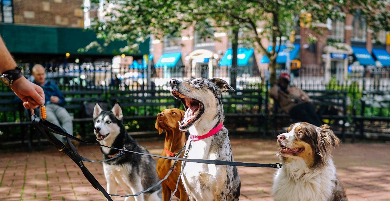 Pack Leader Dog Training