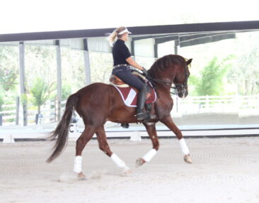 a cantering red chestnut PRE horse named Dorado being ridden by Martha Dodd