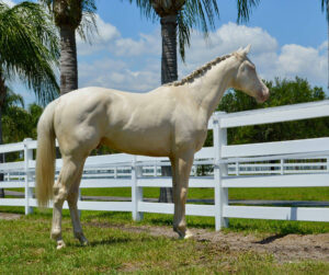 white horse standing by fence, Maybach, westfalen gelding at rancho del zorro