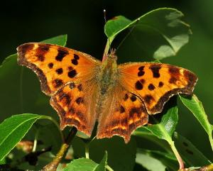 Eastern Comma. Photo: Bob Yukich