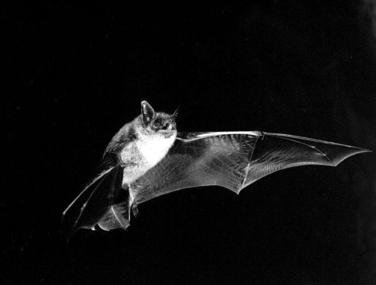 Little Brown Bat. Photo: M. B. Fenton