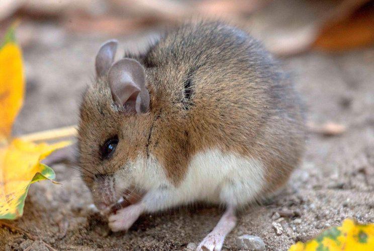 Deer Mouse. Photo: Ali Pashang