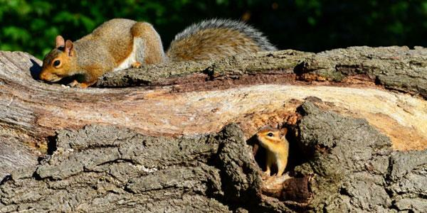 Mammals of High Park: squirrel and chipmunk. Photo: JM