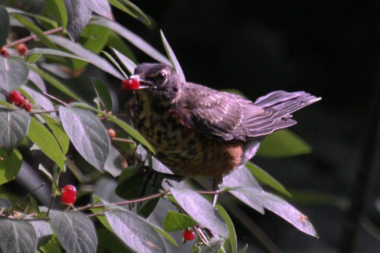 Young robin eating honeysuckle berries. Photo: Lu Liu