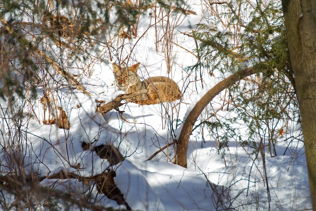 Coyote in Winter. Photo: Tony Pus