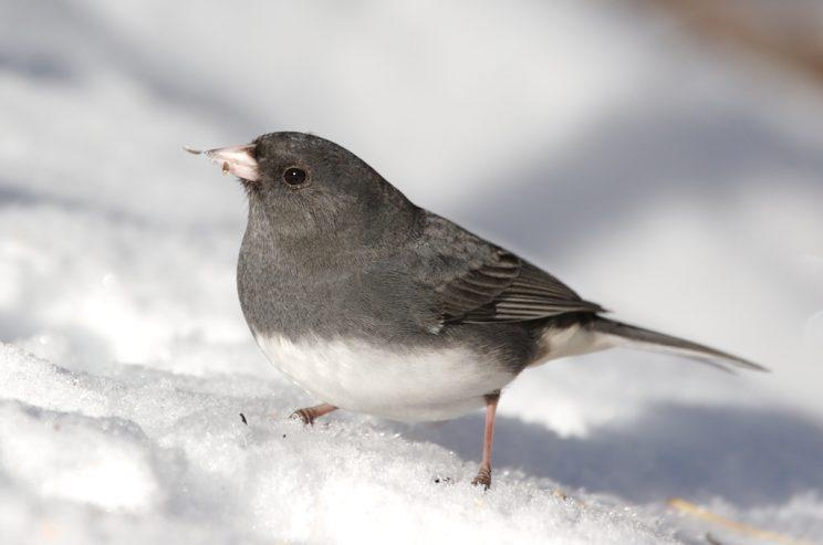 Dark-eyed Junco. Photo: Iain Fleming