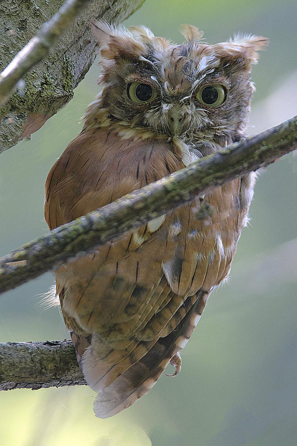 Eastern Screech-Owl. Photo: Ali Pashang