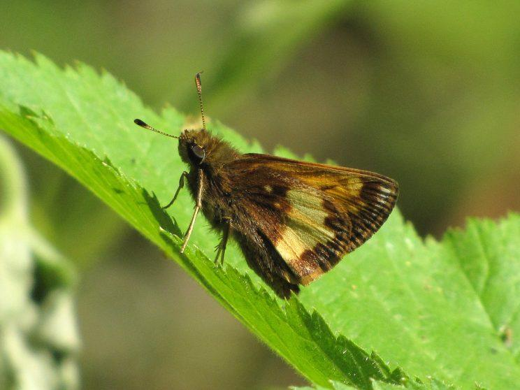 Hobomok Skipper. Photo: Bob Yukich