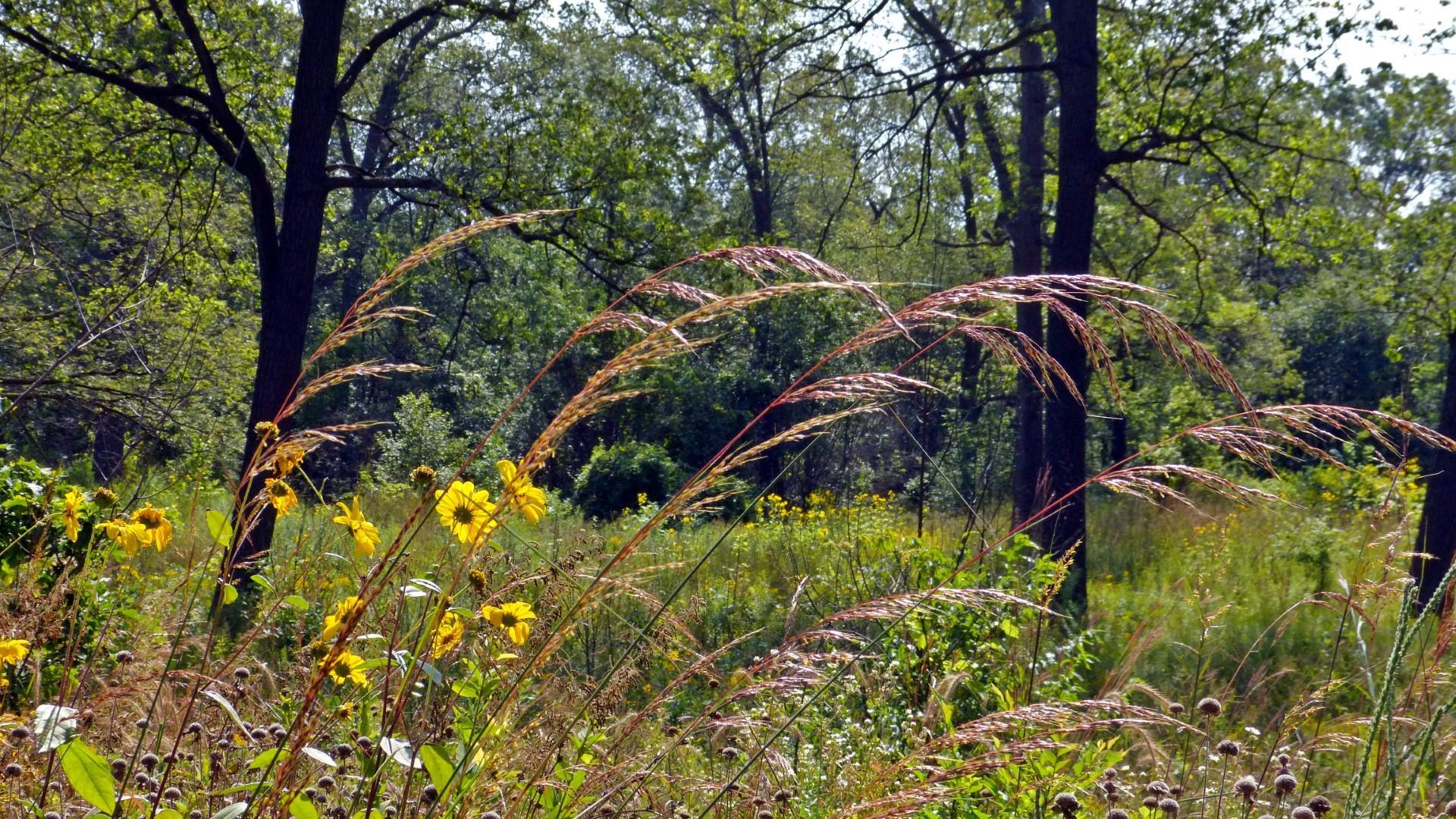 Indian Grass in the Black Oak Savannah. Photo: Karen Yukich