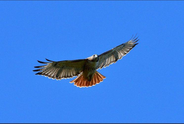 Red-tailed Hawk. Photo: JM