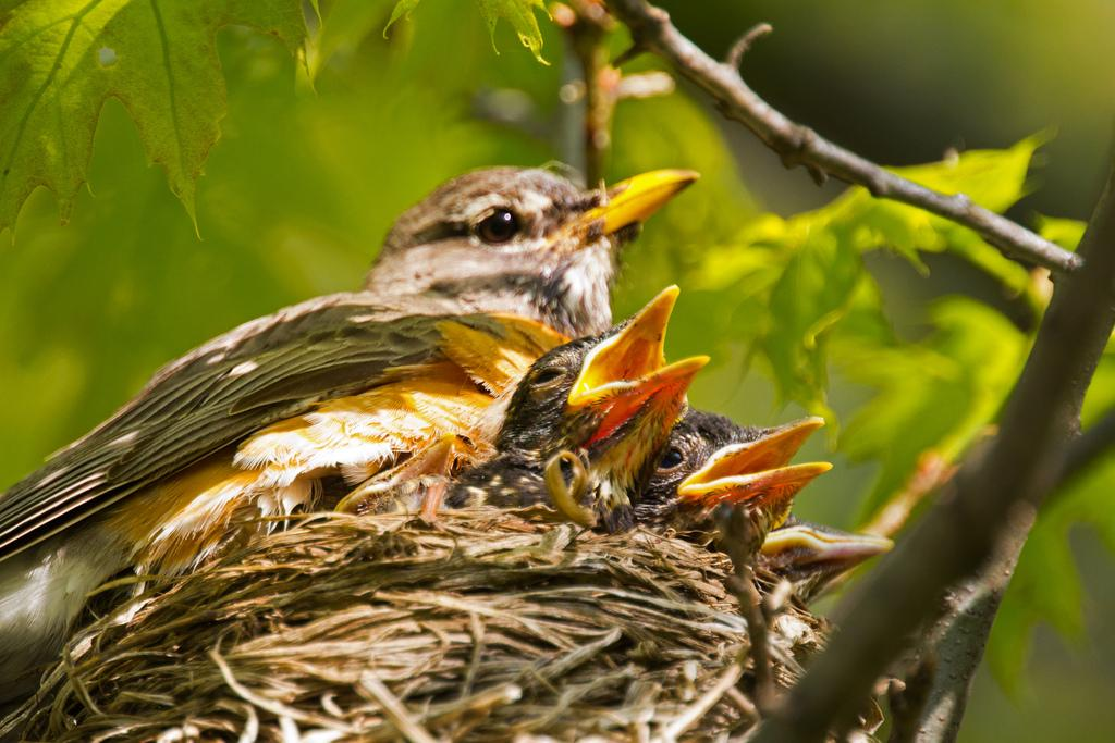 Female robin with young at nest. Photo: Tony Pus