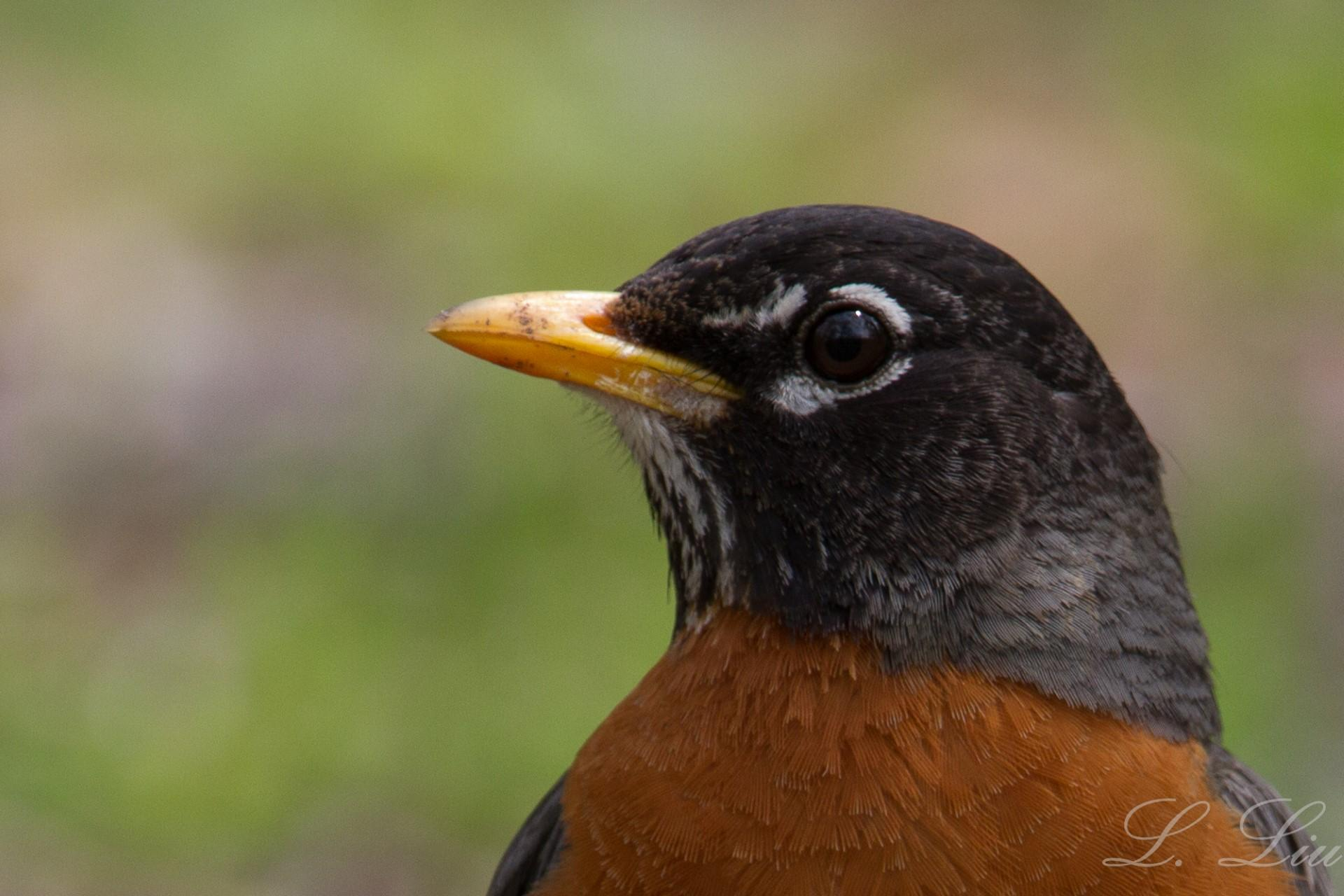 American Robin. Photo: Lu Liu