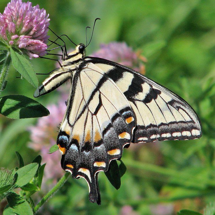 Eastern Tiger Swallowtail. Photo: Bob Yukich