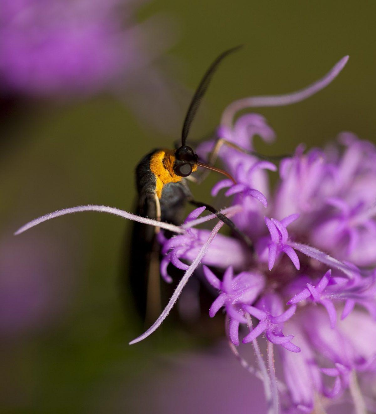 Yellow-collared Scape Moth, Cisseps fulvicollis. Photo: Linda Read