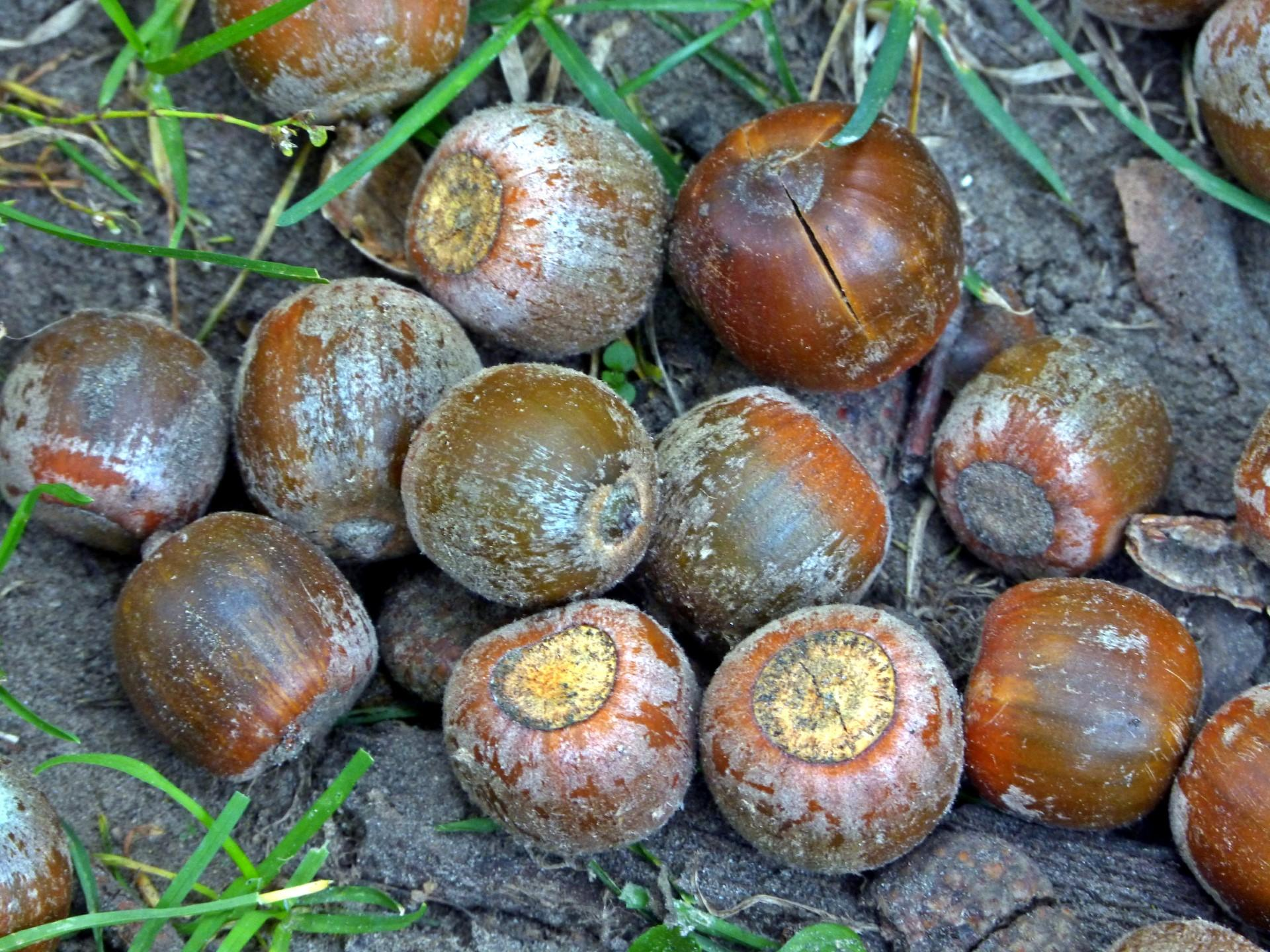 Acorns. Photo: Karen Yukich