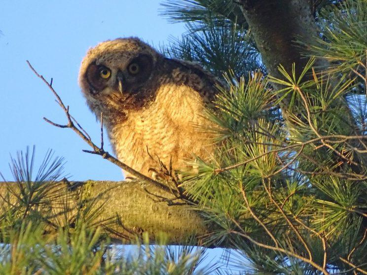 Great Horned Owl juvenile. Photo: Ken Mulhall
