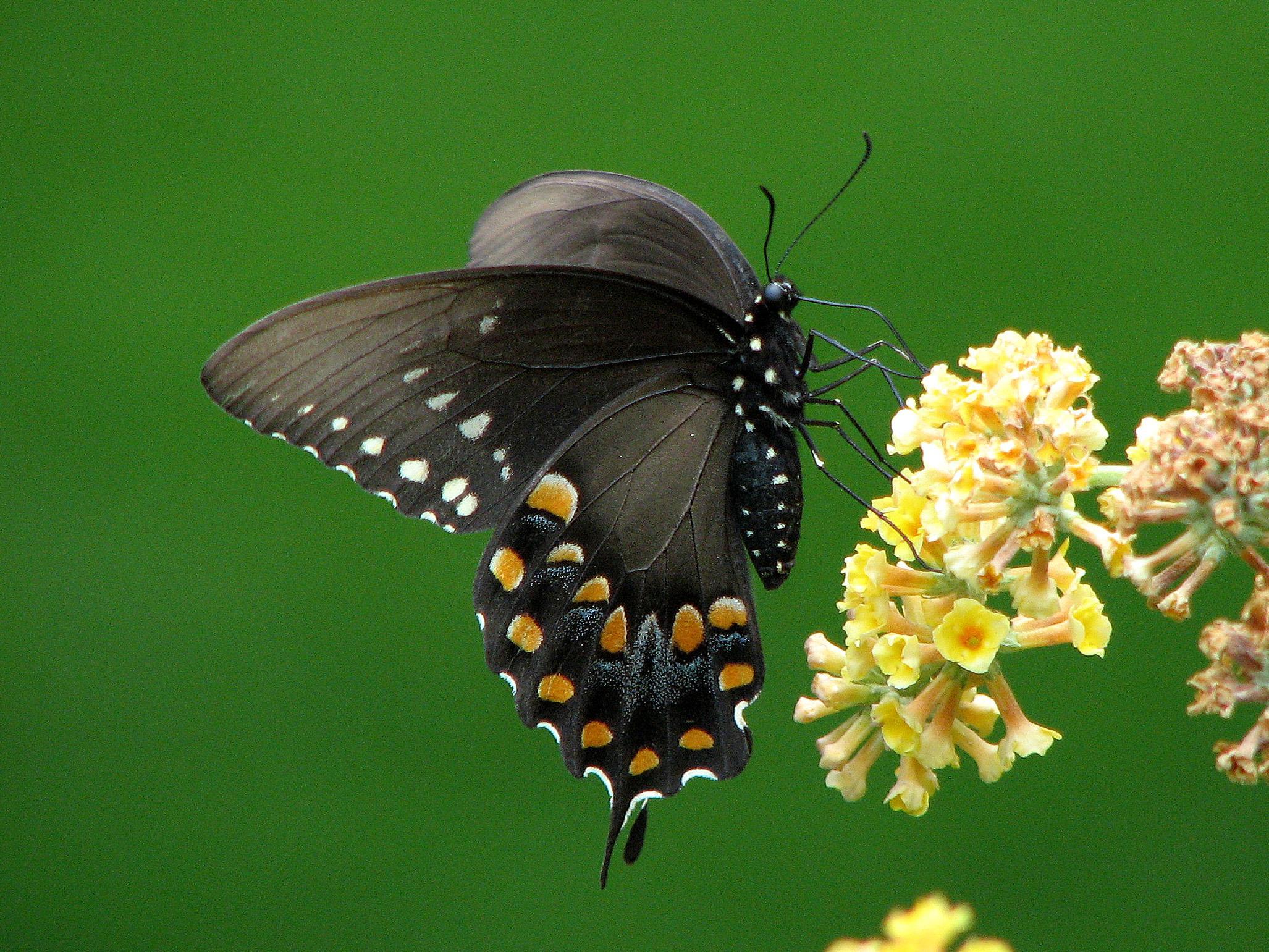 Spicebush Swallowtail female. Photo: Bob Yukich