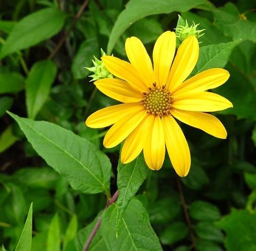 Woodland Sunflower. Photo: Wendy Rothwell