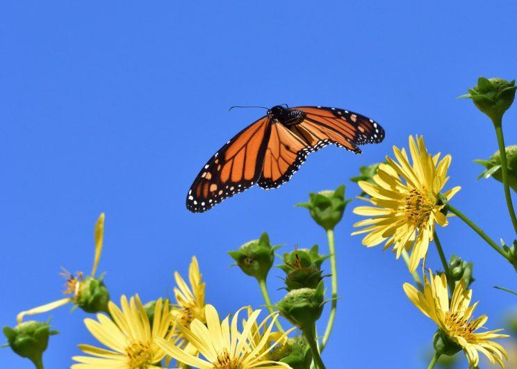 Monarch in flight. Photo: JM