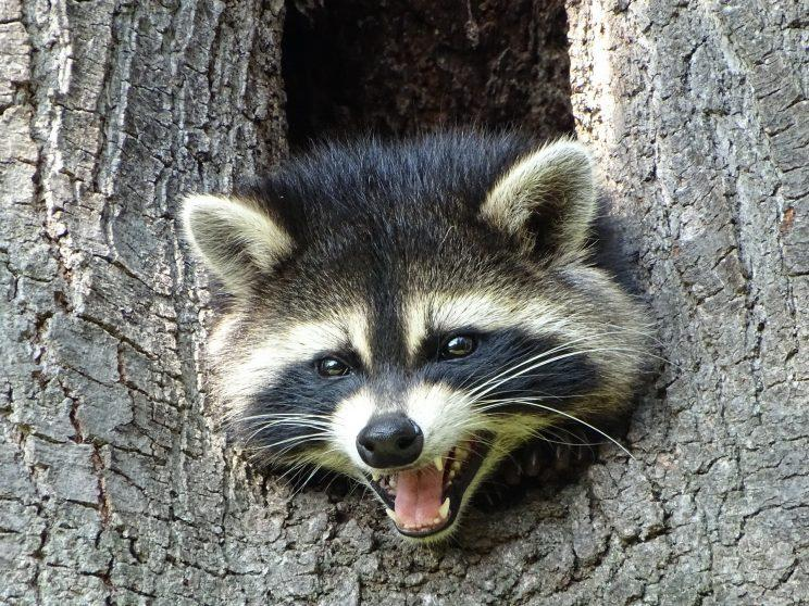 Raccoon in tree crotch. Photo: Ken Mulhall