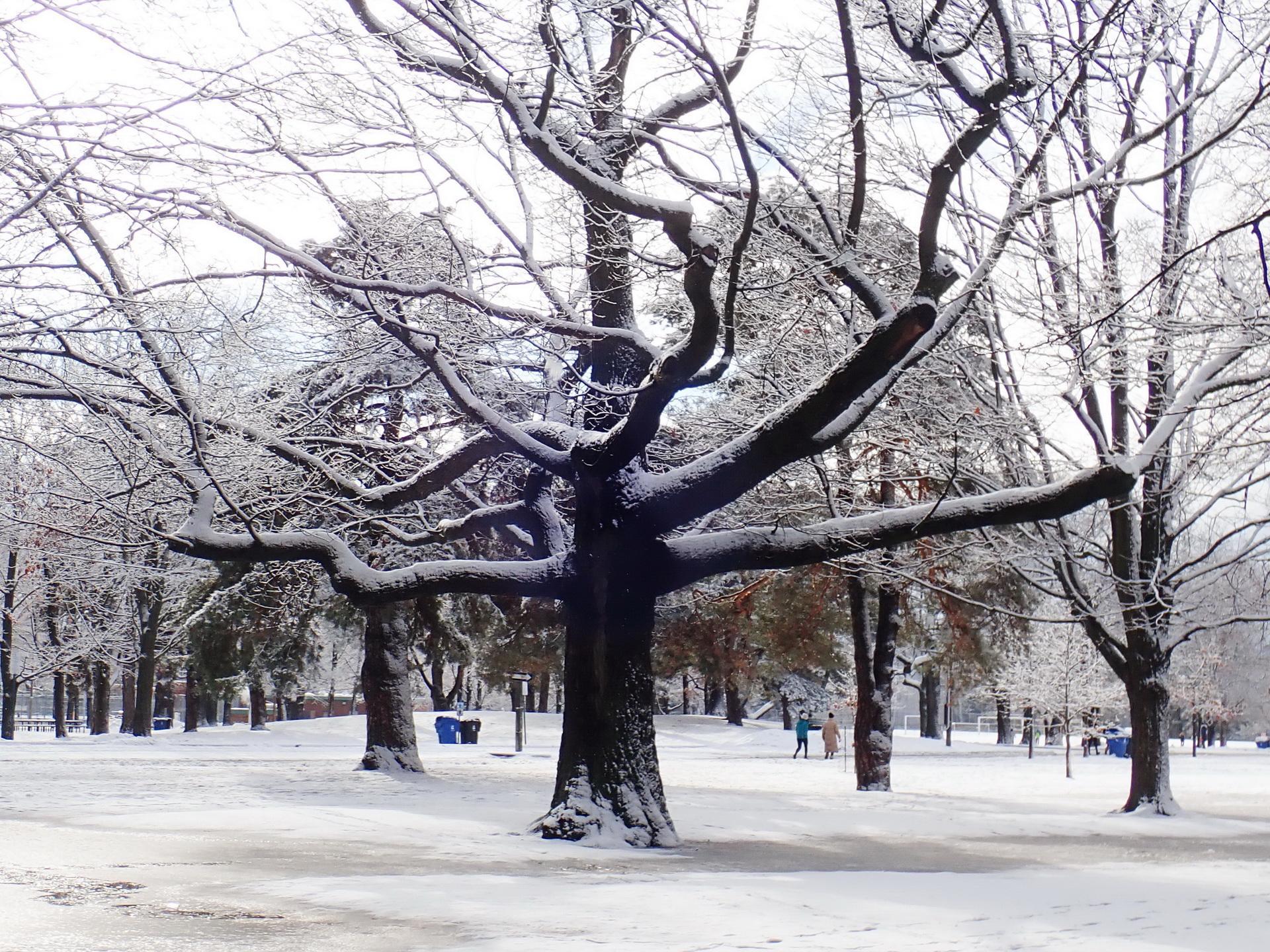 Oak in winter. Photo: Karen Yukich
