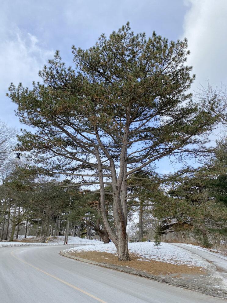 Austrian Pine. Photo: Susan Bolychuck