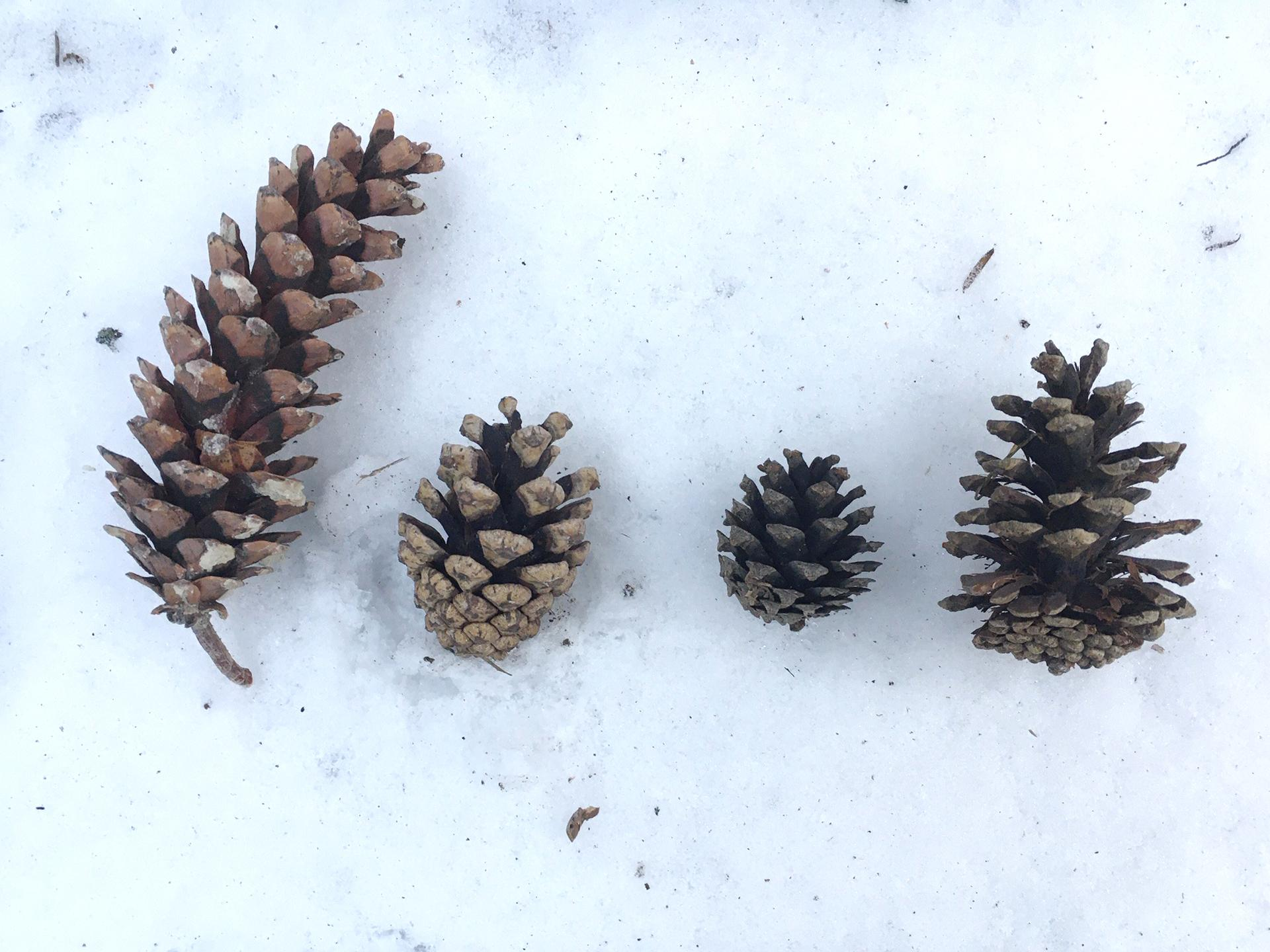 White, Red, Scots and Austrian Pine cones (l to r). Photo: Kathleen Keefe