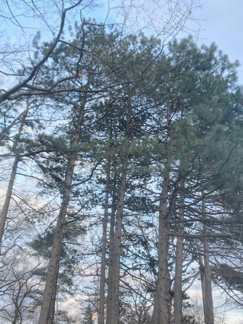 Red Pines. Photo: Arlene McCallum