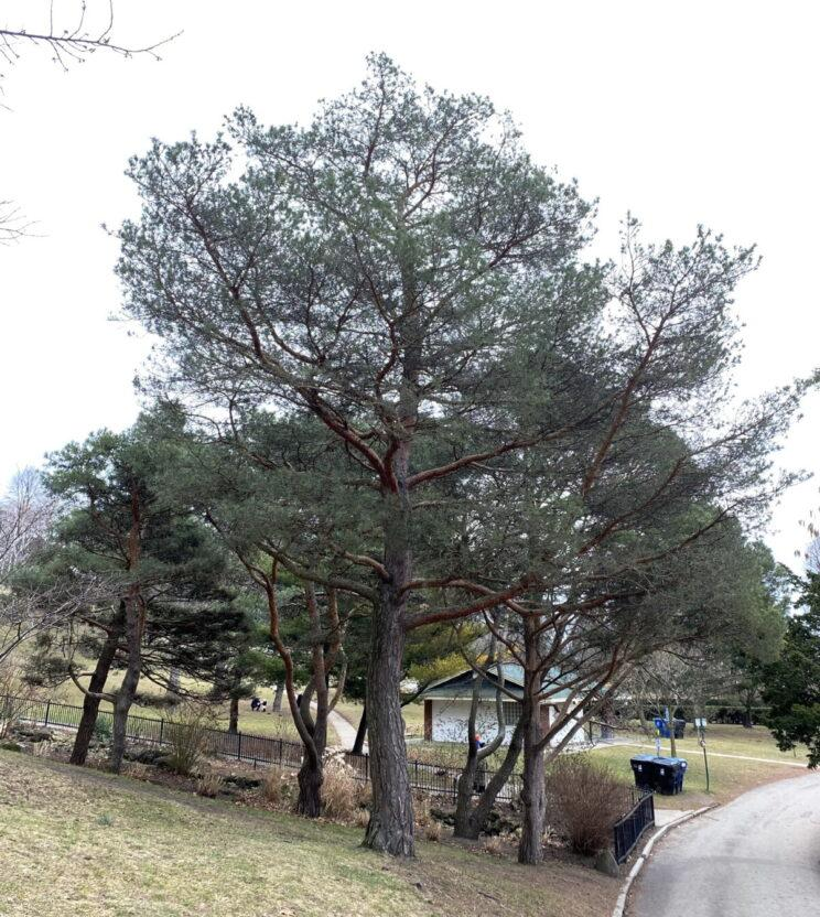 Scots Pines. Photo: Susan Bolychuck