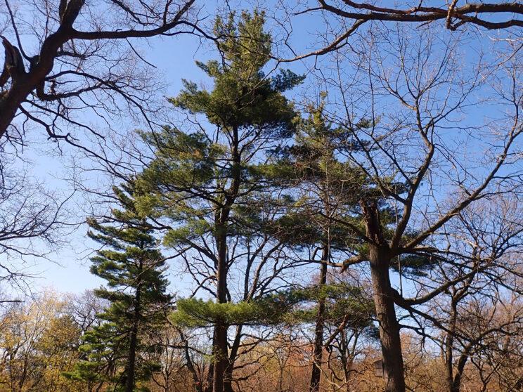 White Pine. Photo: Karen Yukich