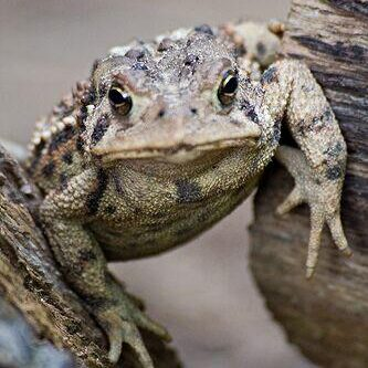 American Toad. Photo: Tony Pus