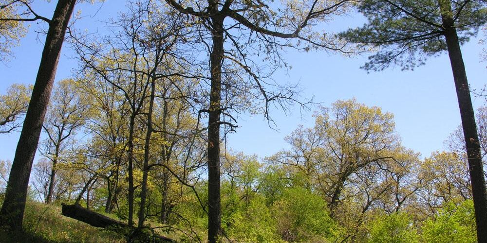 High Park Black Oak Savanna in spring. Photo: James Kamstra