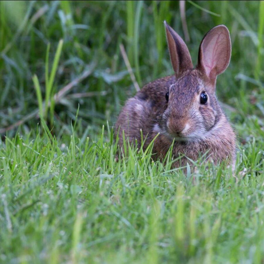 Eastern Cottontail. Photo Steven Rose-e