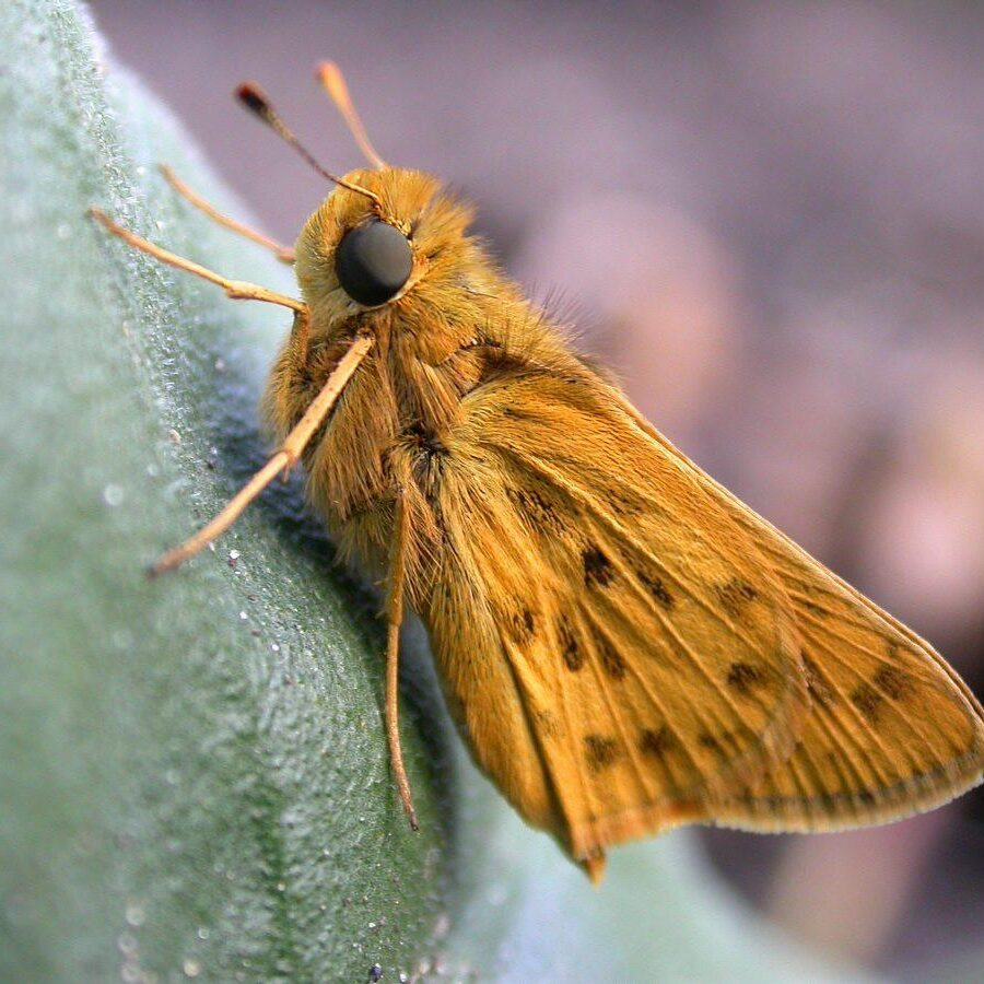 Fiery Skipper. Photo: Bob Yukich