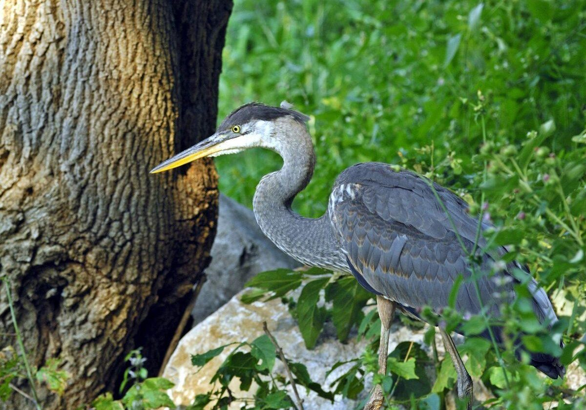 Great Blue Heron. Photo: Pat Parent