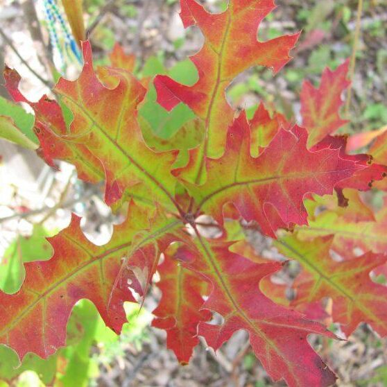 Oak Leaves. Photo: Sharon Lovett