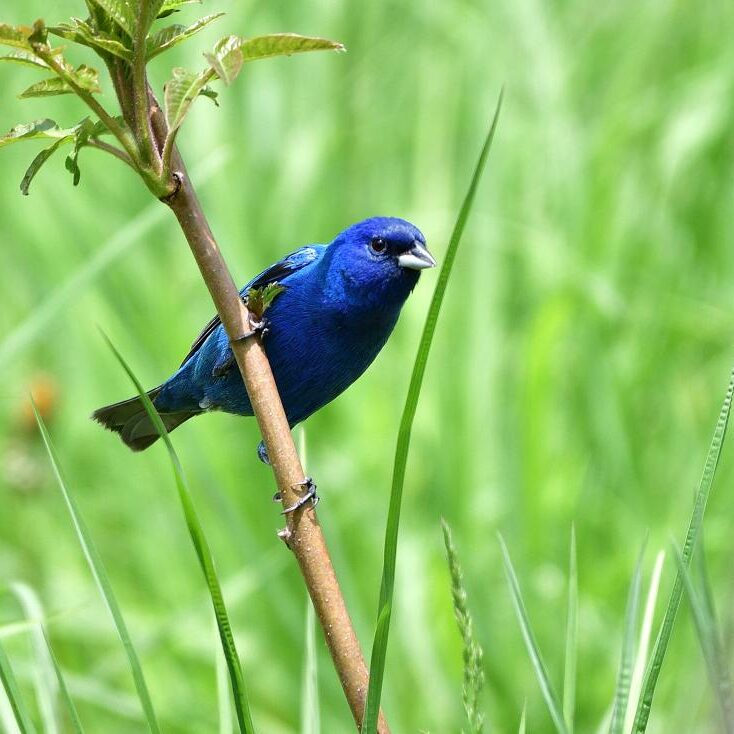 Indigo Bunting male. Photo: JM