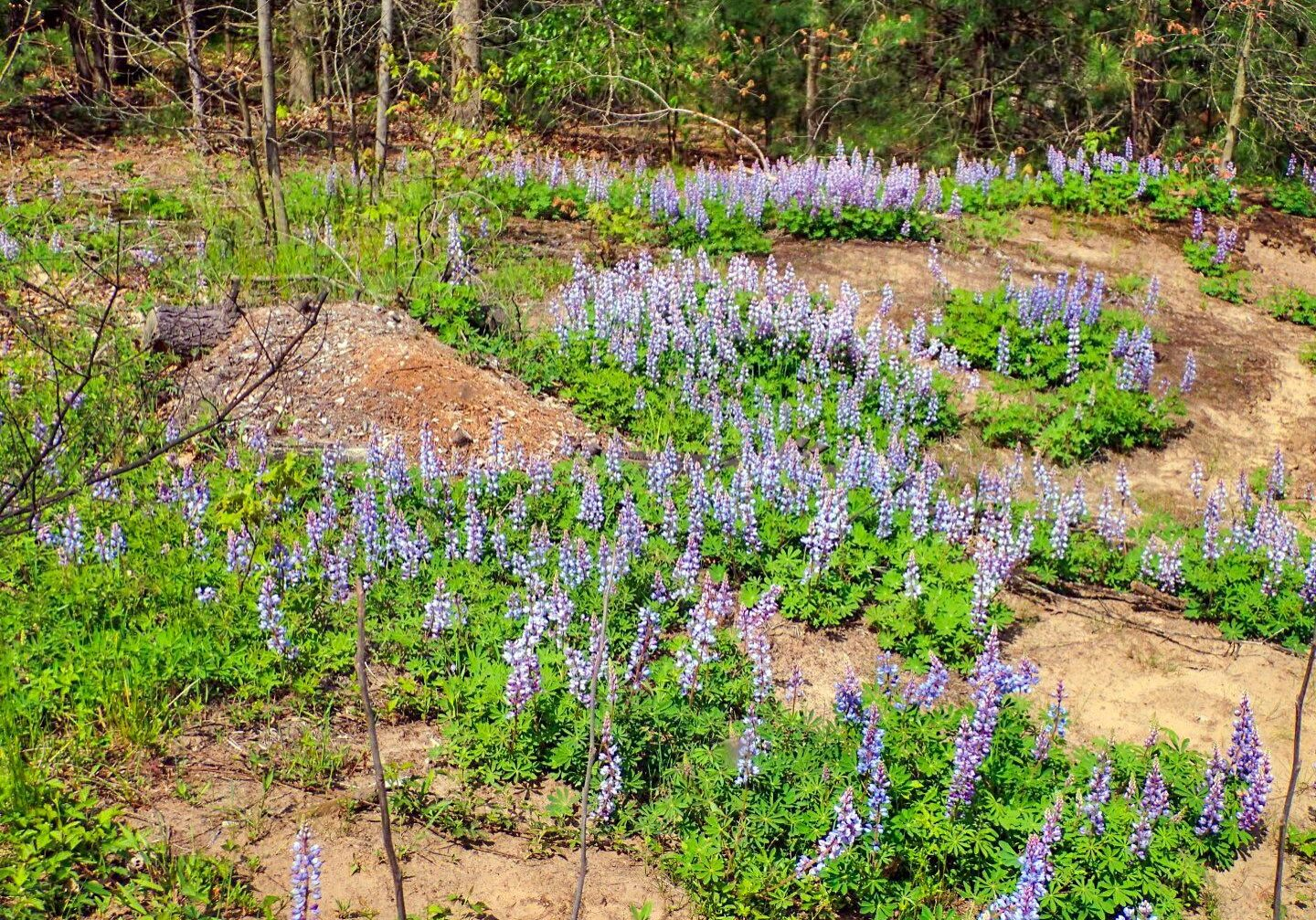 Black Oak Savannah lupines. Photo: Karen Yukich