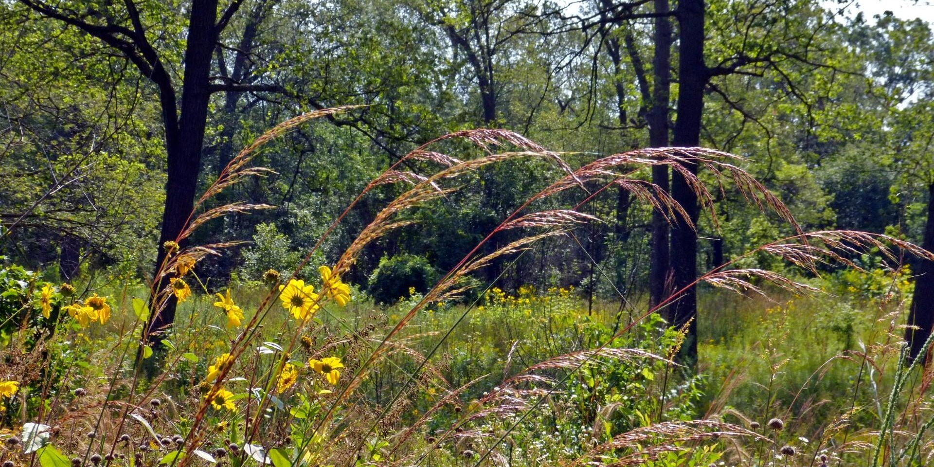Indian Grass in the Black Oak Savannah. Photo: Karen Yukich