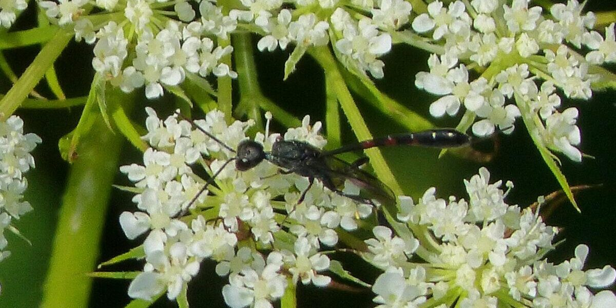 Queen Anne's lace with carrot wasp. Photo: Karen Yukich